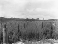 Queensland State Archives 1854 New Zealand blue lupin green manure crop September 1951.png