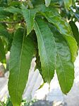 Quercus acutissima leaves 01 by Line1.JPG