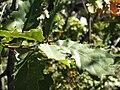 Quercus canariensis Hojas 2010-10-27 DehesaBoyaldePuertollano.jpg