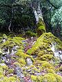 Quercus faginea trunk inAutumm SierraMadrona.jpg