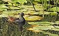 Rörhöna Common moorhen (23037650669).jpg