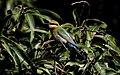 Rainbow Bee-eater (Merops ornatus) (31337739406).jpg