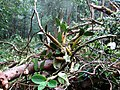 Rainforest orchid (3455011351).jpg