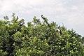 Ranganathittu Bird Sanctuary 05.jpg