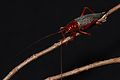 Raspy Cricket (Phlebogryllacris venosa) (8675361151).jpg