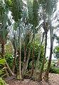 Ravenala madagascariensis - Mounts Botanical Garden - Palm Beach County, Florida - DSC03689.jpg