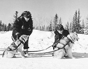 Dog harness - Royal Canadian Mounted Police (R.C.M.P.) These dogs are wearing H-back freight harnesses. Photo from 1957.
