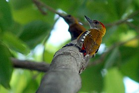 Red-Rumped Woodpecker (Veniliornis kirkii).jpg