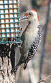 Red-bellied Woodpecker-27527-2.jpg