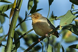 Red-faced Crombec - Naivasha Kenya 06 0870 (18645003524).jpg