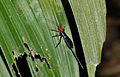 Red-headed Braconid Wasp (Braconidae) (8677281709).jpg