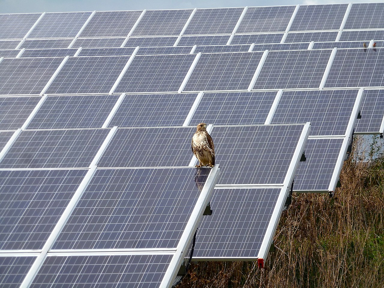 file red tailed hawk by the solar arrays jpg wikimedia commons