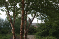 Red-tailed Hawk in tree (9517836754).png