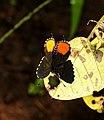 Red Pierrot Talicada nyseus UP by Dr. Raju Kasambe DSCN9202 (5).jpg