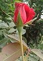 Red rosa at Rajbiraj, Saptari, Nepal (1).jpg