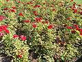 Red roses. - Tagore Promenade, Balatonfüred.JPG