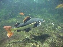 Rotflossen antennenwels wikipedia for Beliebte teichfische
