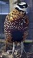 Reeves Pheasant (4995839891).jpg