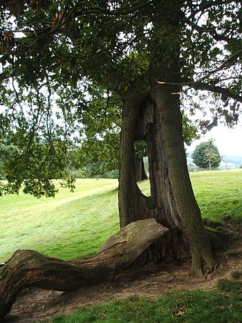 English: Resilient tree In Chatsworth Park, th...