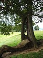 Resilient tree - geograph.org.uk - 1458335.jpg