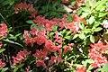 Rhododendron Aladdin 6zz.jpg