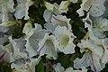 Rhododendron Allegory 0zz.jpg