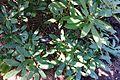 Rhododendron auriculatum - VanDusen Botanical Garden - Vancouver, BC - DSC06917.jpg