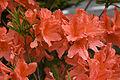 Rhododendron japonicum 03.jpg