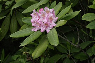 Rhododendron macrophyllum - In the Olympic Peninsula, Washington
