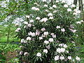 Rhododendron makinoi (5662080953).jpg