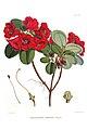 Rhododendron thomsonii (Hooker).jpg