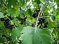 Ribes Odoratum.JPG