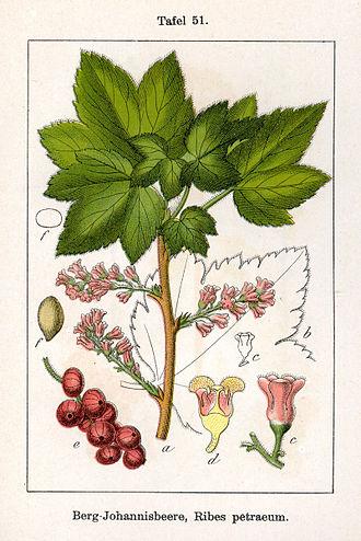Ribes petraeum. Ботаническая иллюстрация Якоба Штурма из книги Deutschlands Flora in Abbildungen, 1796