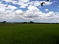 Rice Field sa Pili.jpg