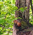 Ricketts Glen State Park Chipmunk.jpg