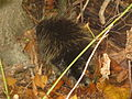 Ricketts Glen State Park Porcupine.jpg