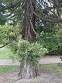 Riesenmammutbaum Berlin Gr Tiergarten.jpg
