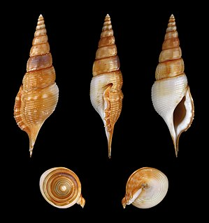 <i>Rimellopsis powisii</i> species of mollusc