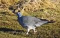 Ringduva Wood Pigeon (31800073361).jpg