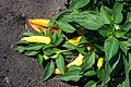 Ripe Banana Pepper Plant.jpg