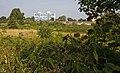 Ripening Blackberries - geograph.org.uk - 897182.jpg