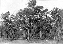 Historical photograph of narrow road surrounded by trees