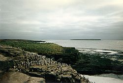 Rock Cormorants on Bleaker Island.jpg