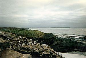 Bleaker Island - Image: Rock Cormorants on Bleaker Island