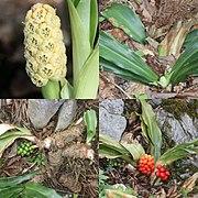 Rohdea japonica (Montage).jpg