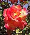 Rosa-mardigras.jpg