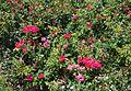 Rosa Knock Out, jardins del Real de València.JPG