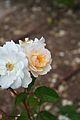 Rosa Penelope - Gran Bretaña-Capullo (11982534304) (2).jpg