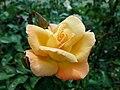Rosa Rosemary Harkness 2019-07-11 2909.jpg