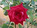 Rosa indica cultivator at Madhurawada 02.JPG